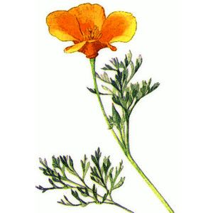 300x300 California Poppy Clipart