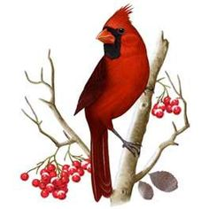 236x236 Clip Art Illustration Of A Red Cardinal Bird Sitting On A Branch