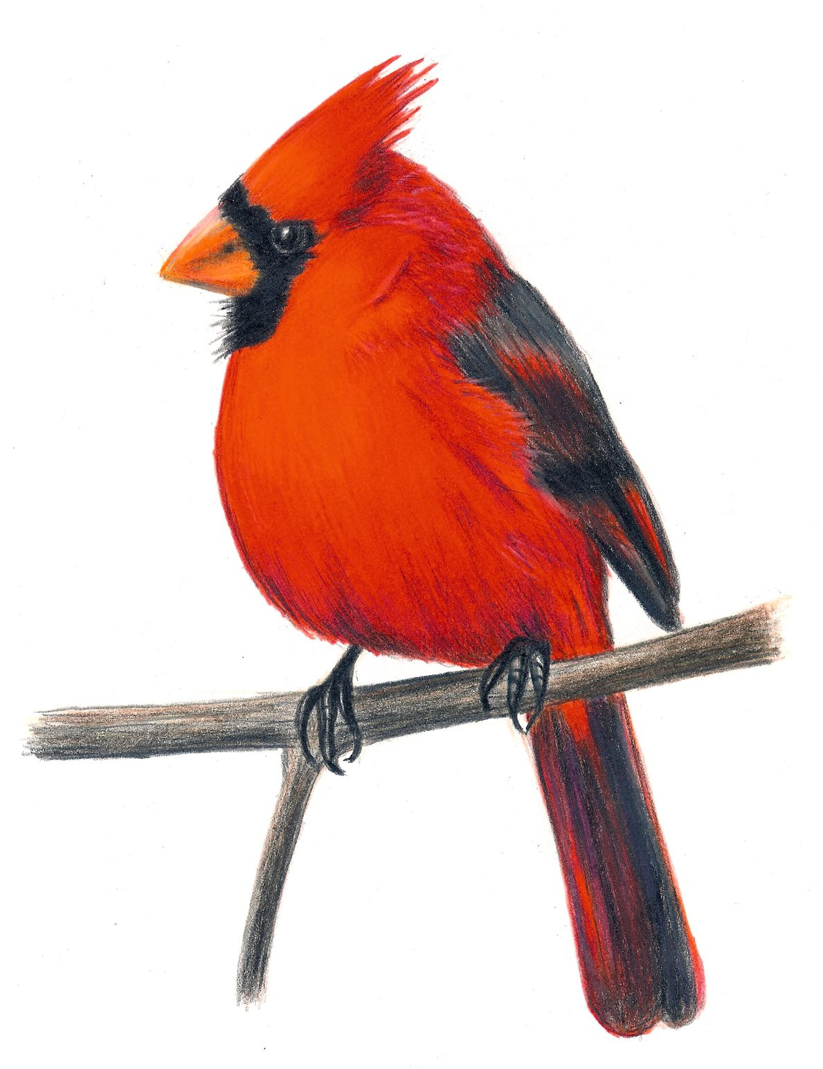 1189x1544 Cardinal Art Cardinal Clip Art Pictures For Childrens Book