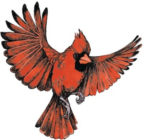 568x554 Collection Of Cardinal Bird Flying Drawing High Quality
