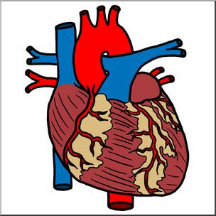 304x304 Clip Art Human Heart Color I Abcteach