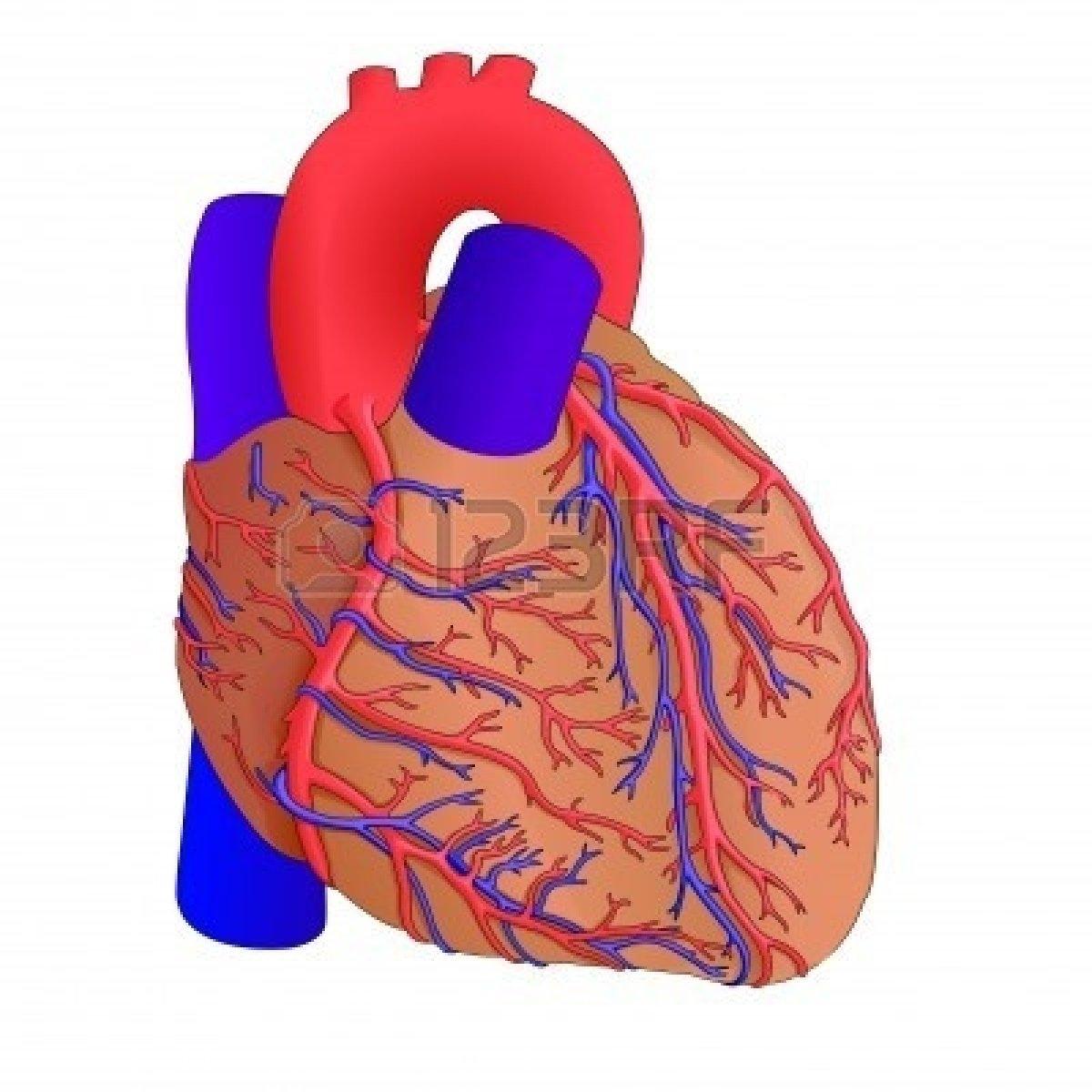 1200x1200 Anatomical Heart Clip Art