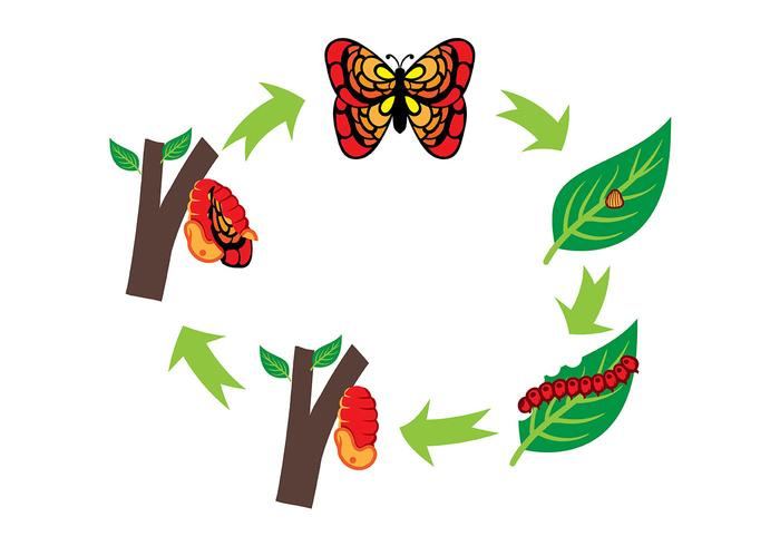 700x490 Caterpillar And Butterfly Life Cycle Vector