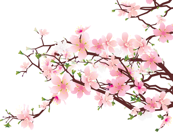675x514 Branches Of Cherry Blossoms