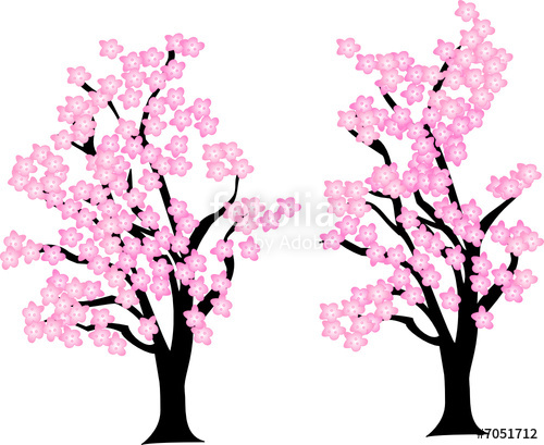 500x409 Cherry Blossom Trees Stock Image And Royalty Free Vector Files
