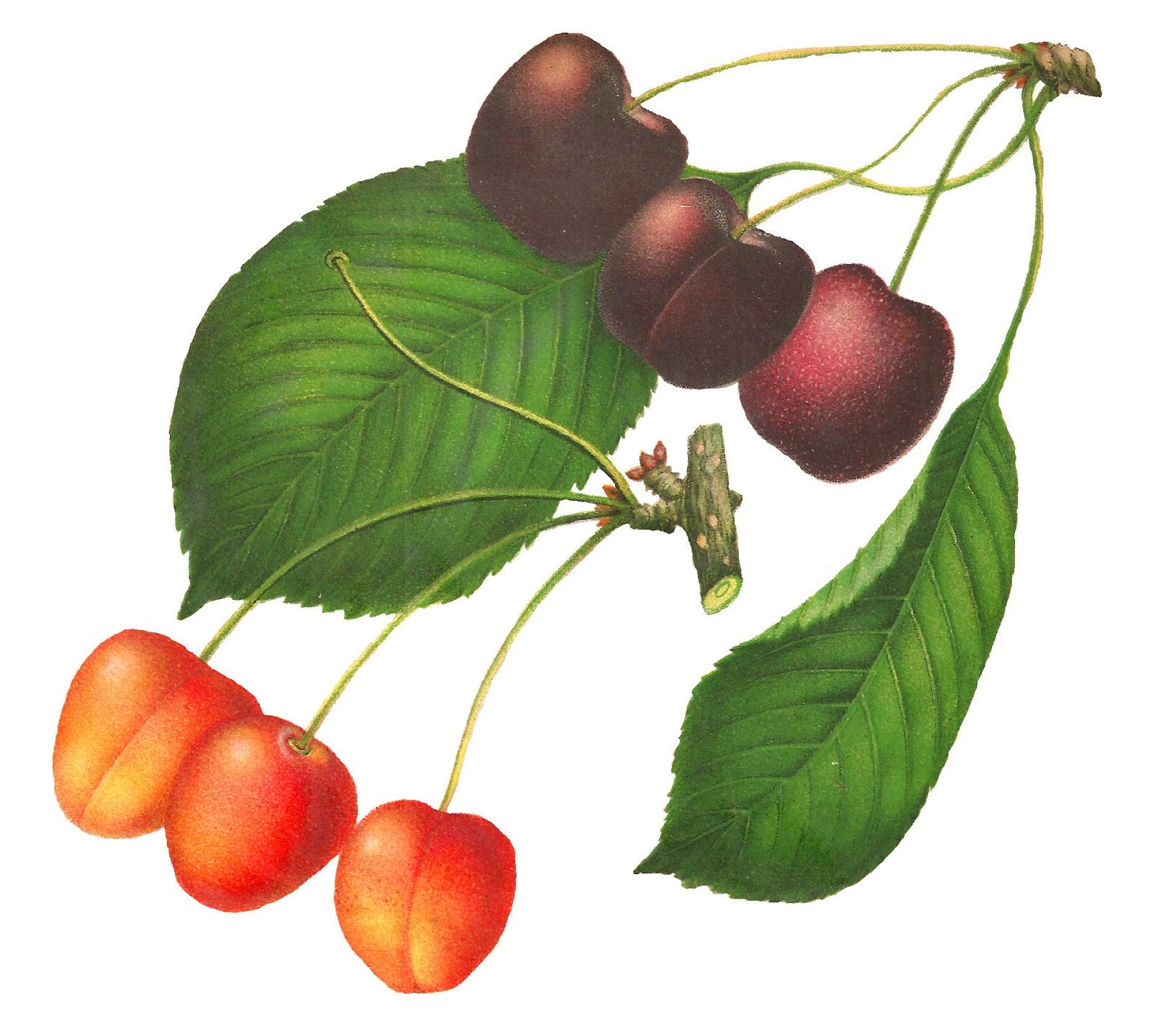 1600x1440 Antique Images Printable Cherry Clip Art Digital Botanical