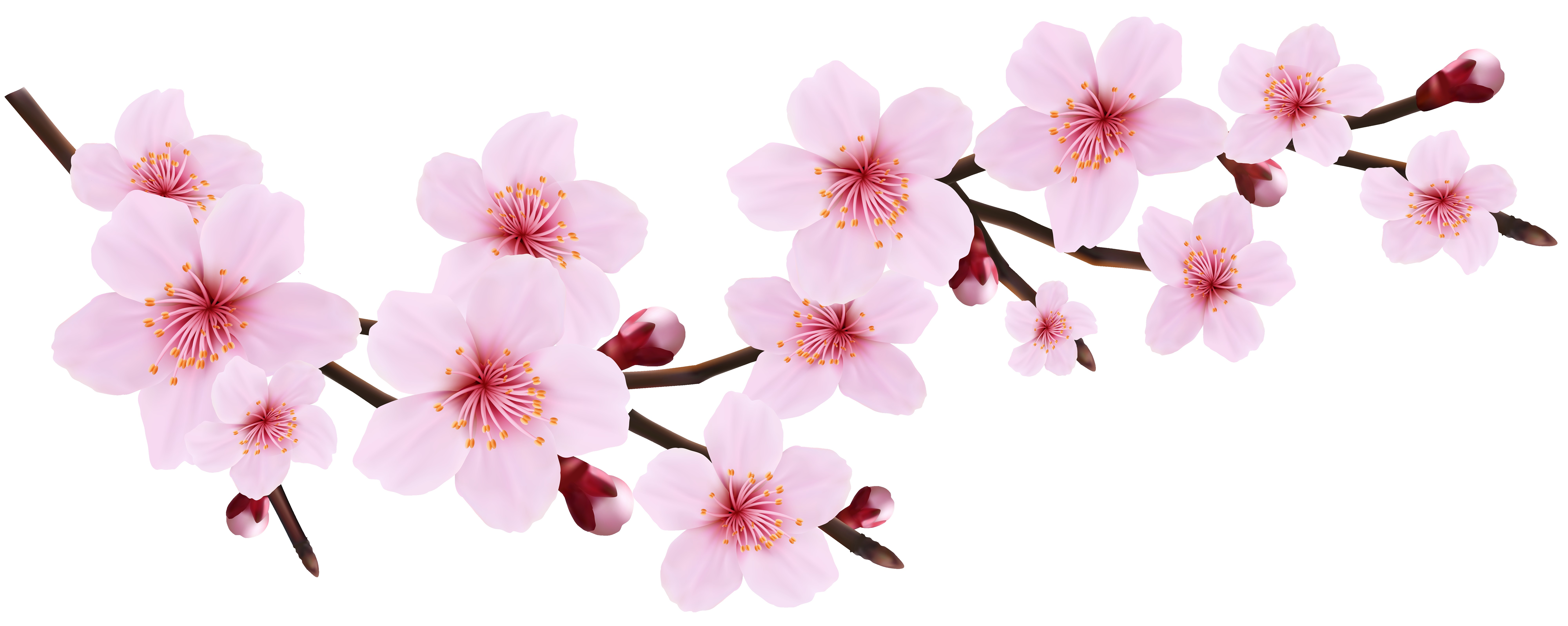 8000x3195 Blossom Spring Pink Twig Transparent Png Clip Art Image Gallery