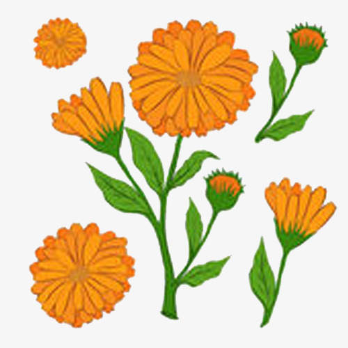 500x500 Orange Calendula Chrysanthemum Illustration, Orange, Calendula