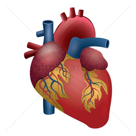 450x450 Free Circulatory System Stock Vectors Stockunlimited