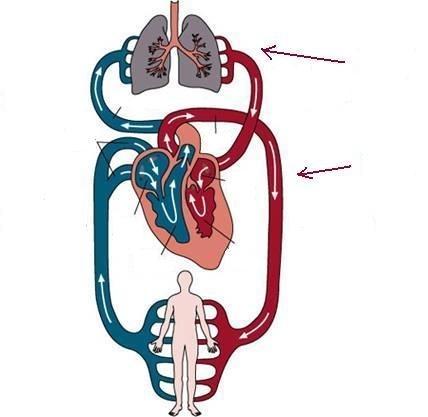 circulatory system clipart at getdrawings com free for personal rh getdrawings com
