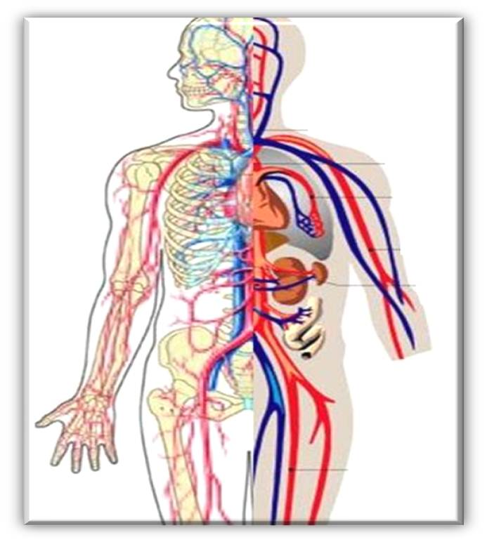 693x772 Circulatory System Clipart