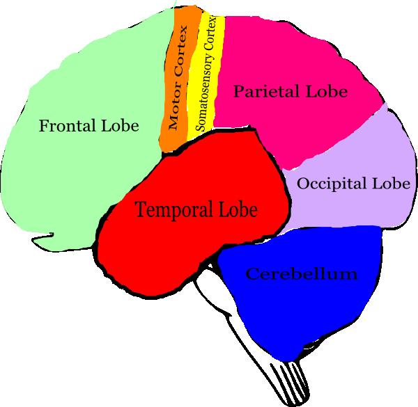 600x585 Free Brain Clipart Image