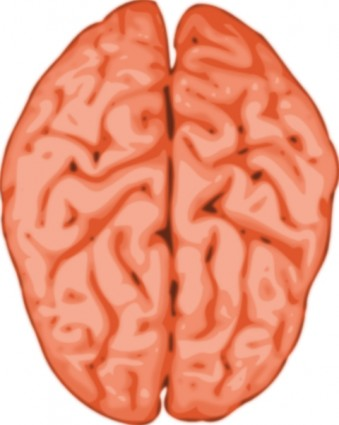 339x425 Organs Clipart Brain Free Collection Download And Share Organs