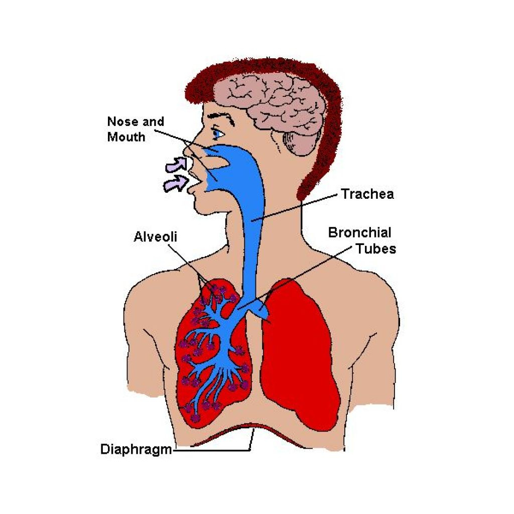 1024x1024 Body With Organs Clip Human Body Organs Clipart