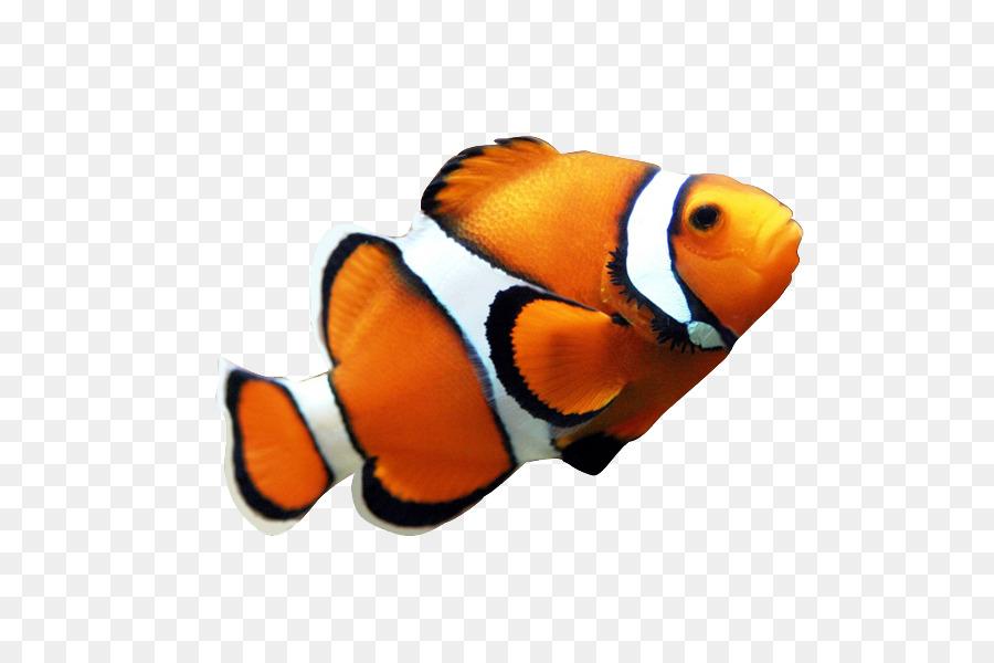 900x600 Clownfish Coral Reef Fish Angelfish Clip Art