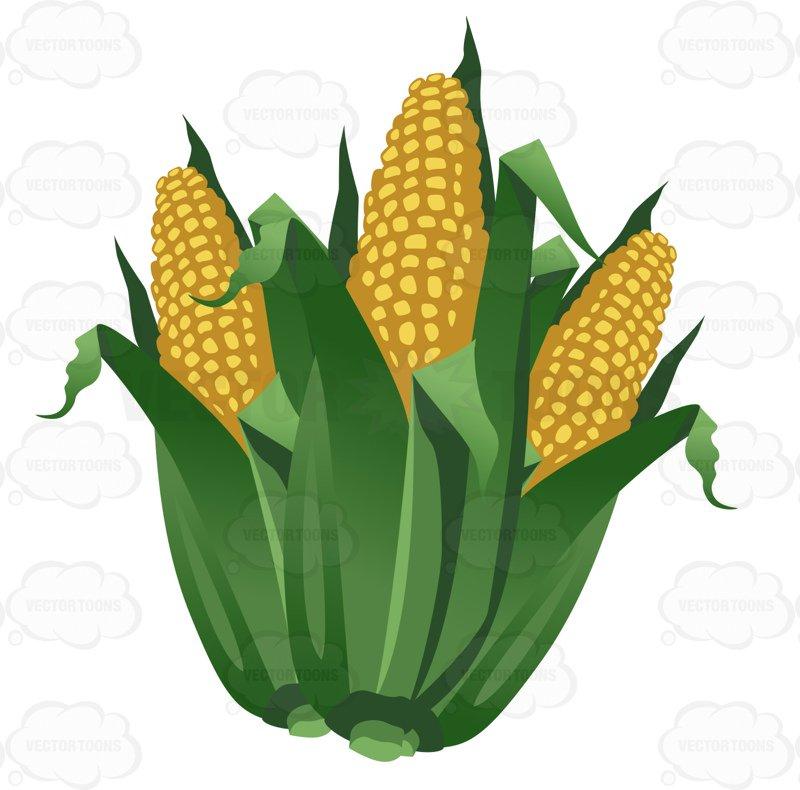 800x790 Ears Of Corn Clipart