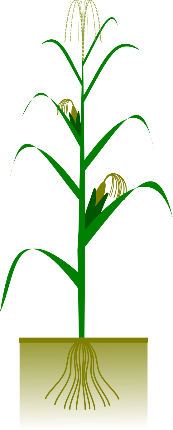 555x1377 Corn On The Cob Clipart