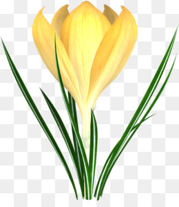 260x300 Flower Crocus Flavus Clip Art
