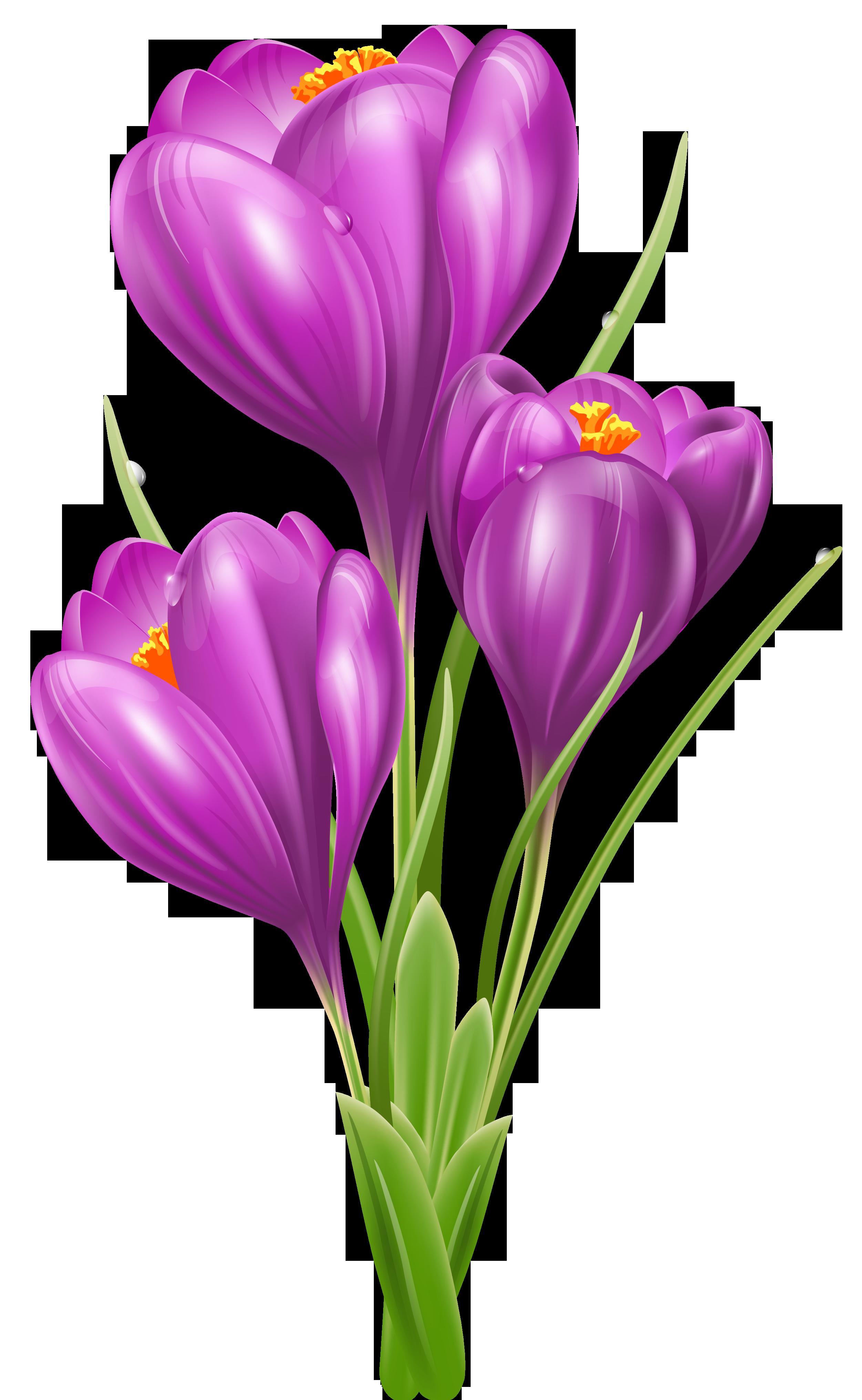 2502x4064 Transparent Crocus Png Clipart Picture Clip Art Flowers