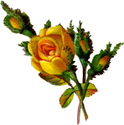 247x250 Yellow Rose Bud Clip Art