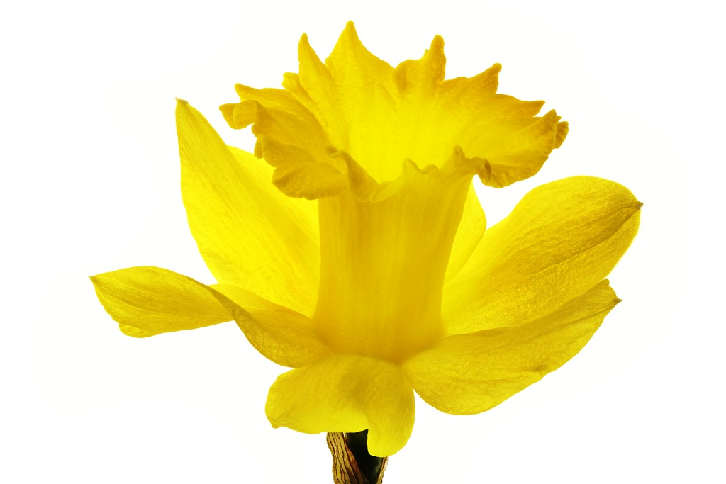 1024x683 Daffodil Clipart Transparent Background 3211160