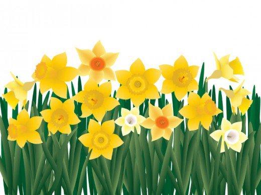 520x390 Daffodil Field Clipart