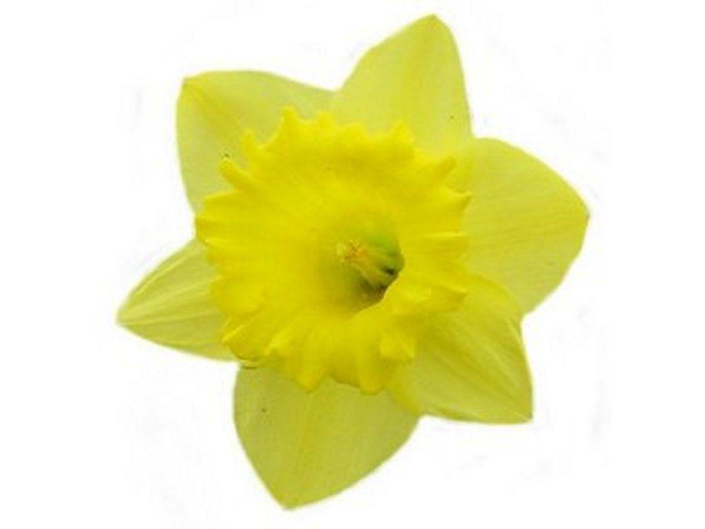 1024x768 Give Daffodils! Give Hope! Daffodil Days! Daffodils