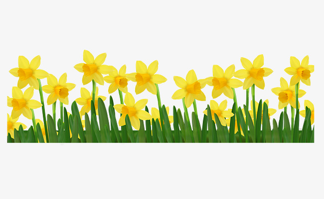 650x400 Narcissus Flower Png, Vectors, Psd, And Clipart For Free Download