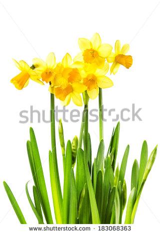 321x470 Top 91 Daffodil Flower Clip Art
