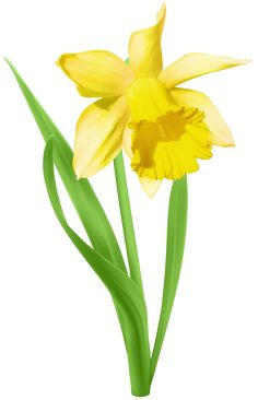 236x366 Yellow Transparent Daffodil Flower Png Clipart Card Graphics