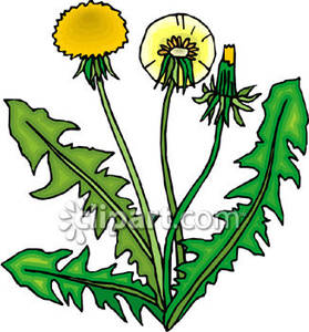 279x300 Dandelions Royalty Free Clipart Picture