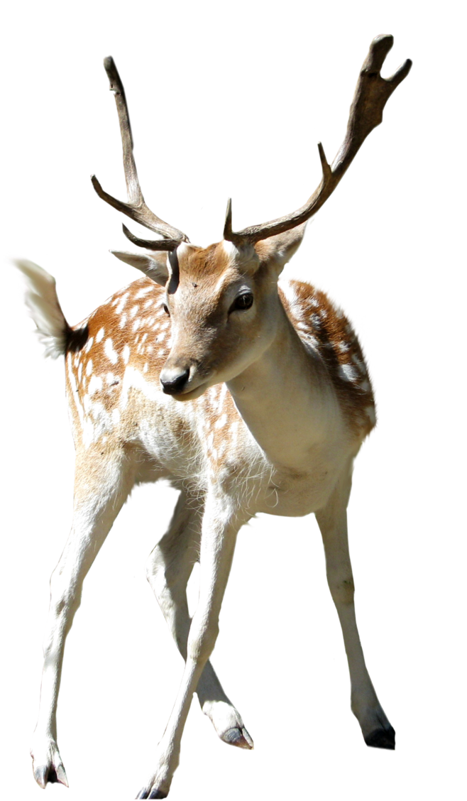 658x1128 Deer Clip Art