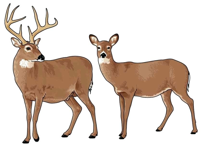 840x616 White Tailed Deer Clip Art Whitetail Deer Wallpaper Realistic