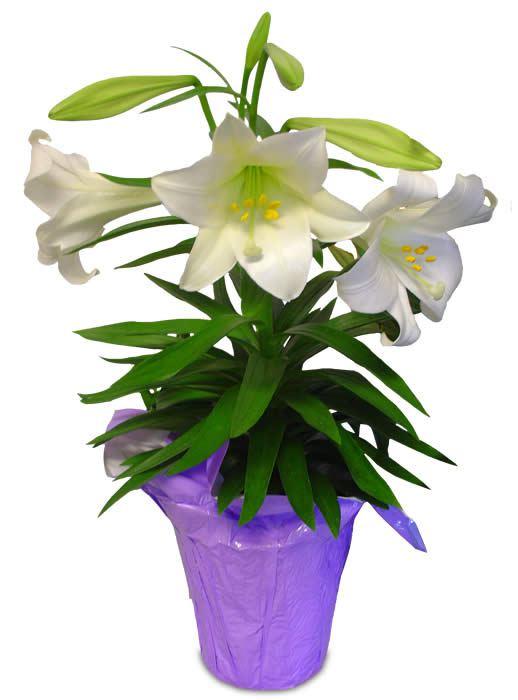 518x700 Easter Lilly Flower Border Clip Art Gardening Flower And Vegetables