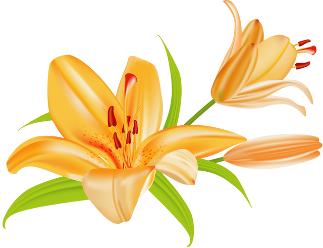 640x491 Lily Clipart Free
