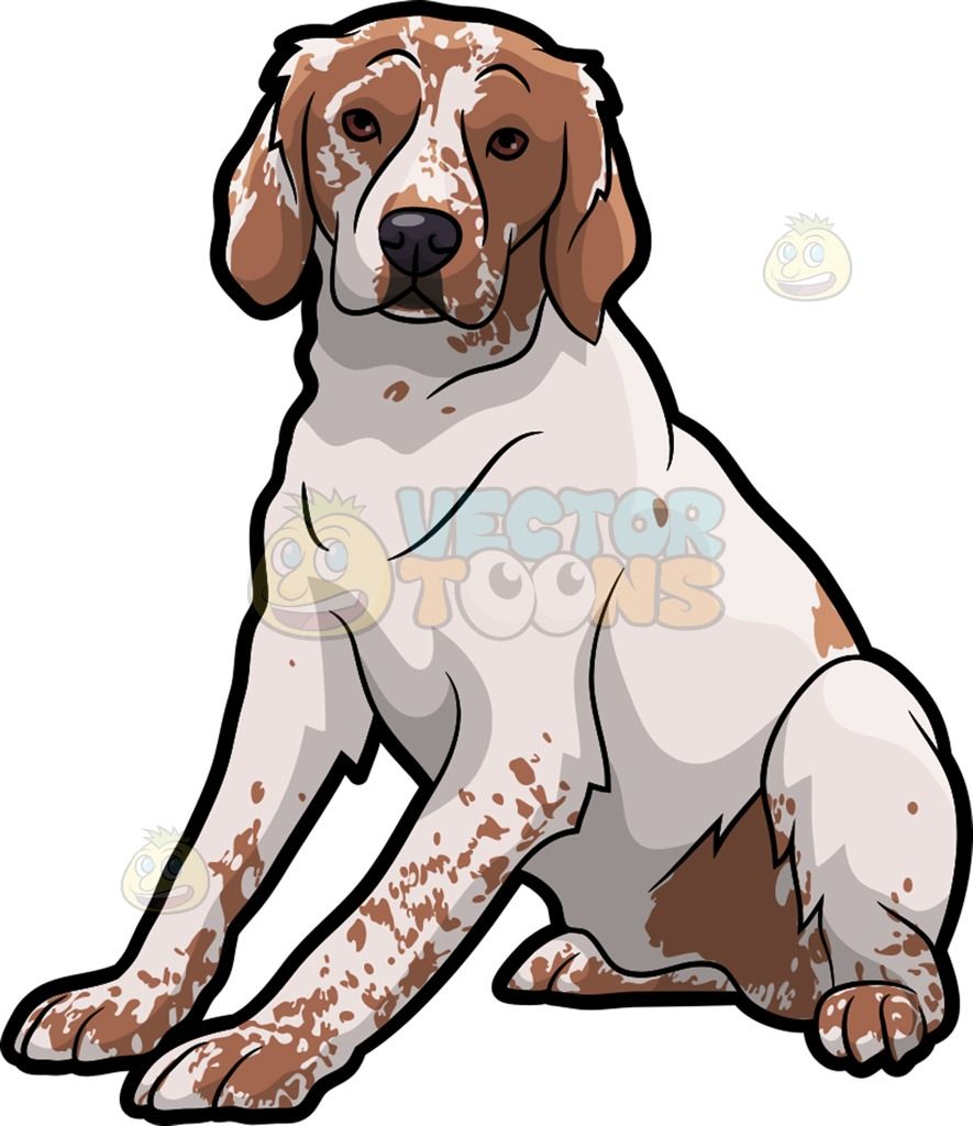 885x1024 A Brittany Spaniel Pet Dog Brittany Spaniel, Pet Dogs And Dog