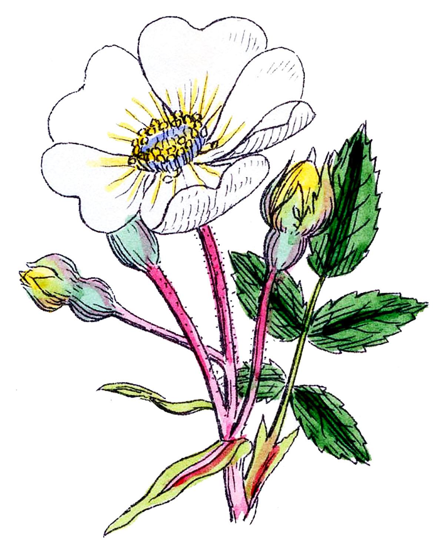 1188x1500 Wild Rose Vintage Clip Art