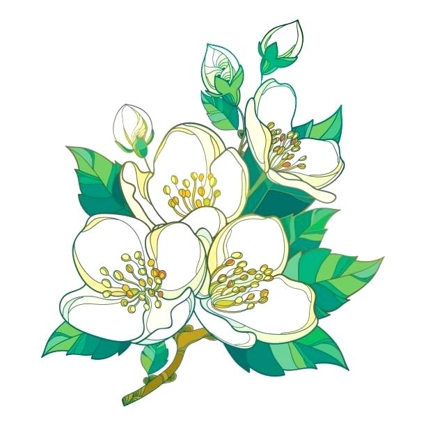 612x612 Jasmine Clip Art Jasmine Flowers Vector Illustration Of Jasmine