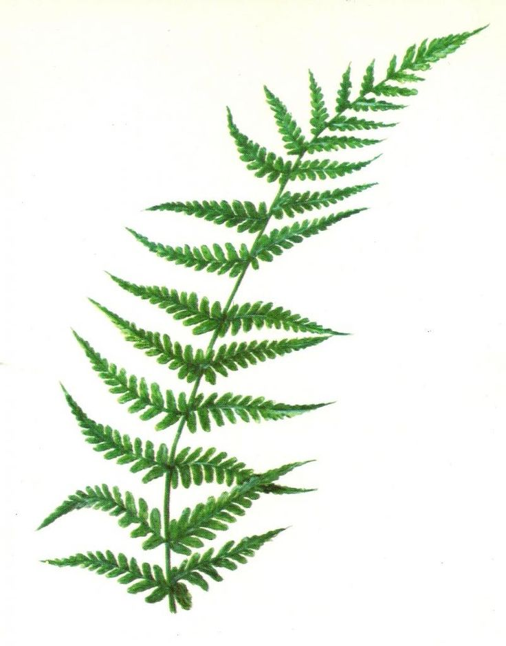 fern clipart at getdrawings com free for personal use fern clipart rh getdrawings com fern plant clipart fern leaves clipart