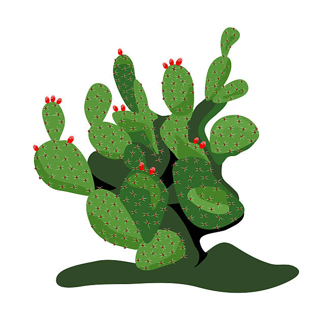 612x612 Collection Of Prickly Pear Clipart High Quality, Free