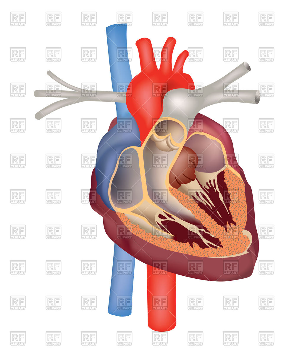 994x1200 Heart Anatomy Medical Sign Royalty Free Vector Clip Art Image