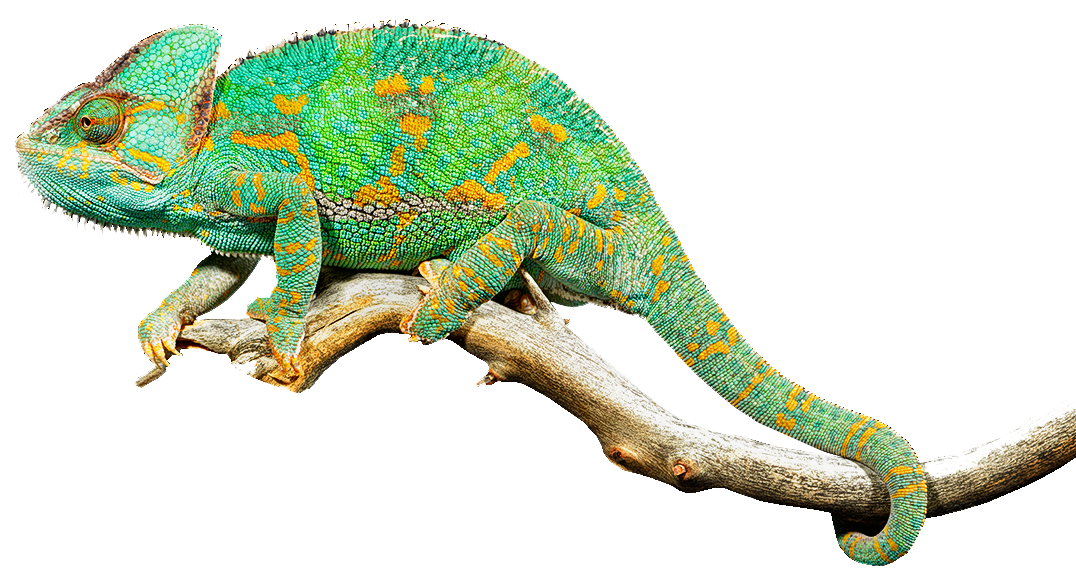 1076x576 Reptile Lizard Chameleons Common Iguanas Clip Art