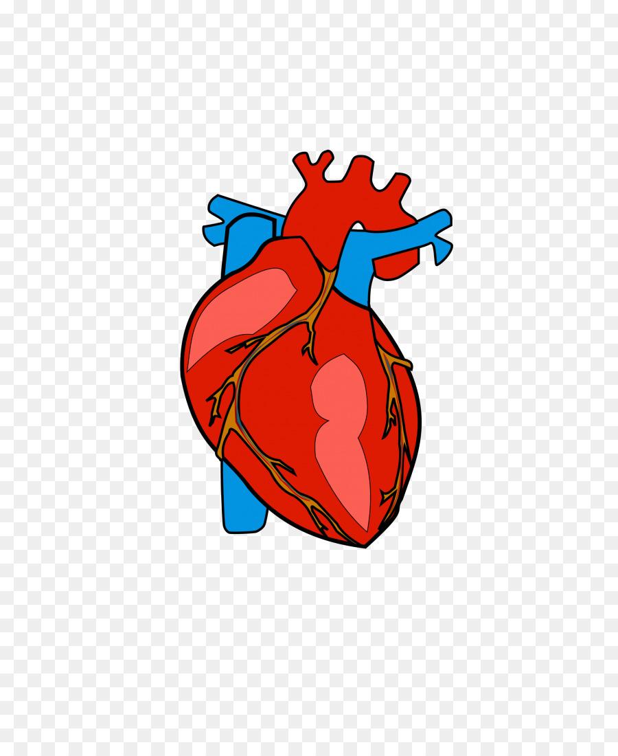 900x1100 Heart Anatomy Clip Art