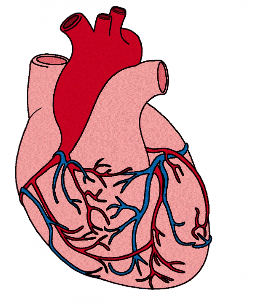854x1024 Human Heart Images With Parts Clipart Human Heart Clip Art Clipart