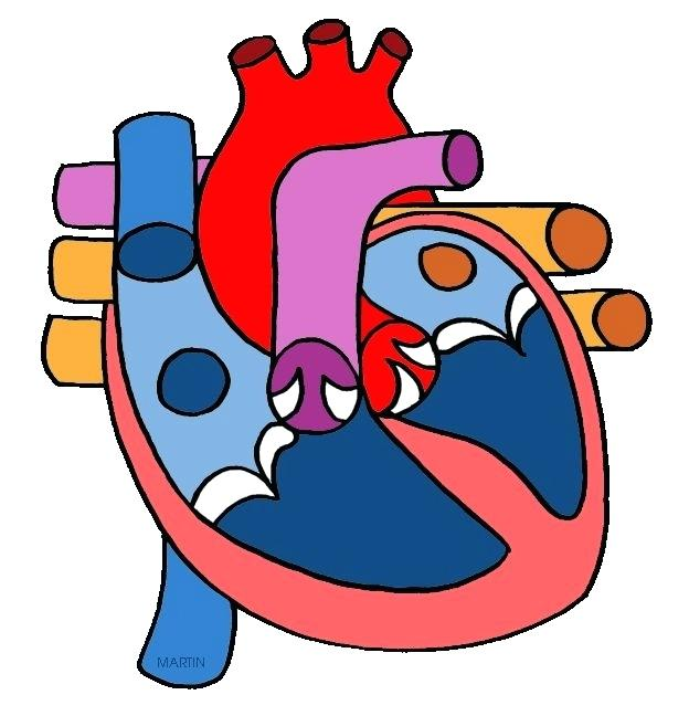 624x648 Anatomical Heart Clip Art The Human Heart Free Science Lesson