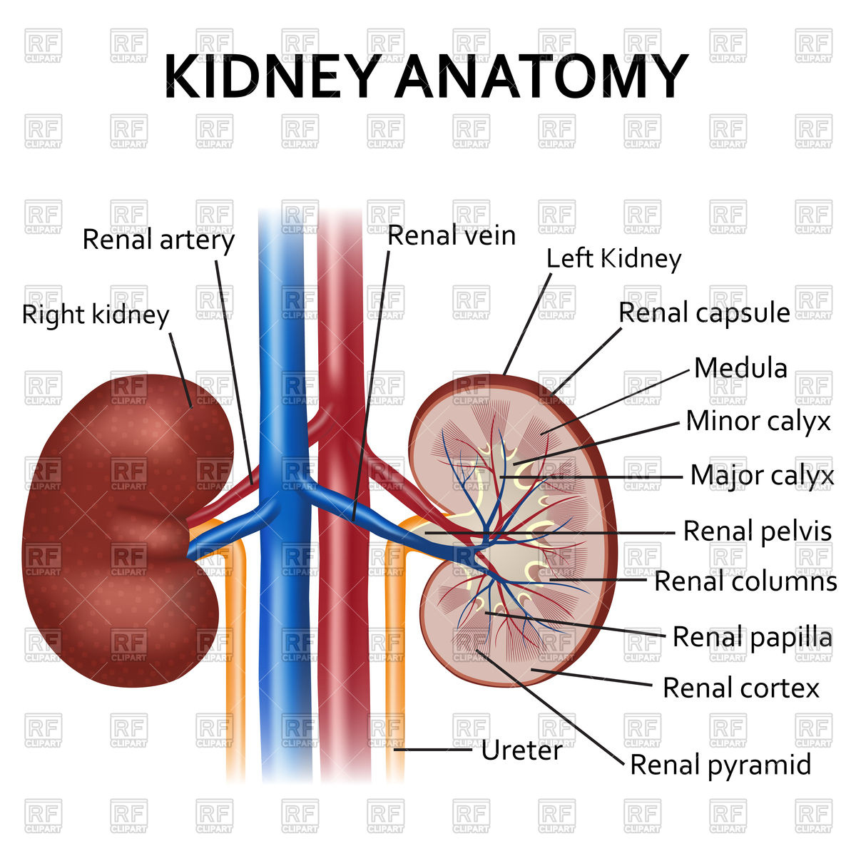 1200x1200 Human Kidney Anatomy Royalty Free Vector Clip Art Image