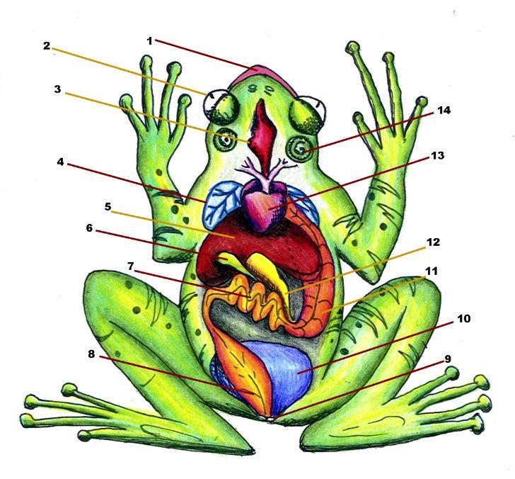 728x676 Anatomy Clipart Cartoon