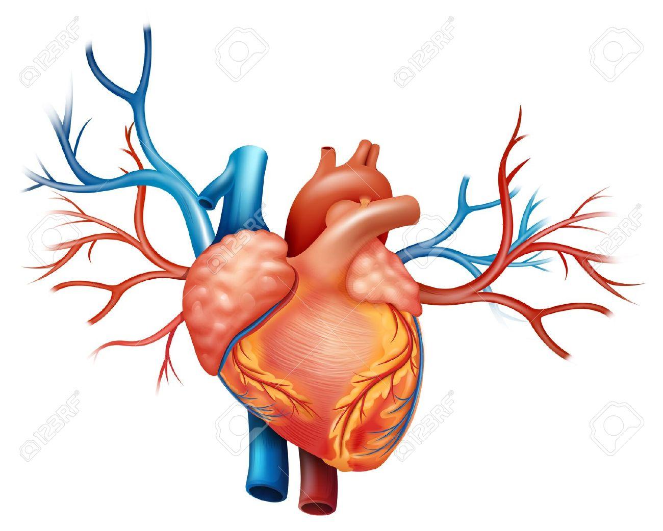 1300x1042 Arteries Clipart