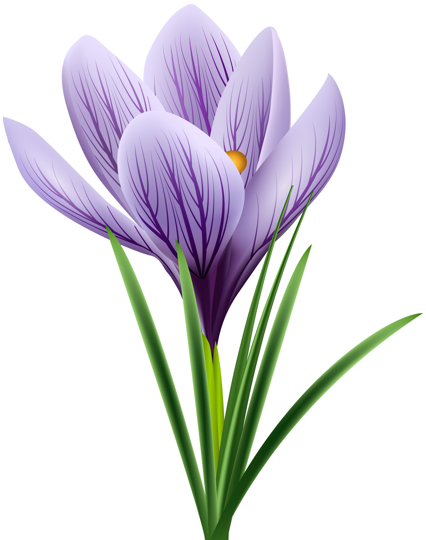 4737x6000 Purple Crocus Transparent Png Clip Art Imageu200b Gallery