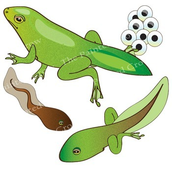 350x350 Frog Life Cycle Clip Art